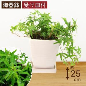観葉植物 アイビー青 高さ約25cm 陶器鉢ホワイト|worldgarden