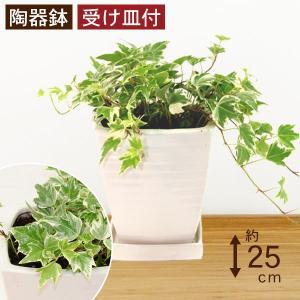 観葉植物 アイビー斑入り 高さ約25cm 陶器鉢ホワイト|worldgarden