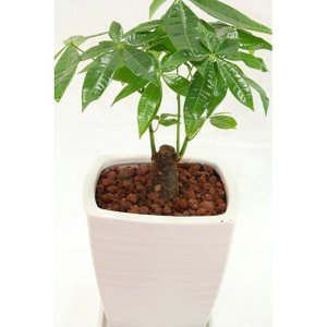 観葉植物 パキラ 高さ約35cm 陶器鉢ホワイト|worldgarden|04