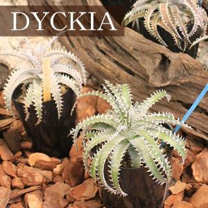 ディッキア (DYCKIA) worldgarden