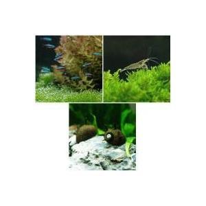 学名: Paracheirodon axelrodi体長: 4cmネグロ川、オリノコ川原産のカラシン...