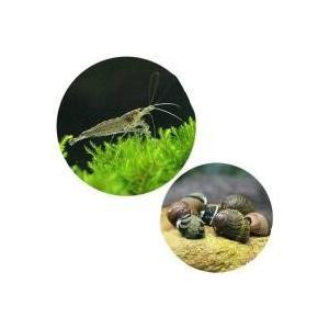 ヤマトヌマエビとコケ取り貝のお得なセットヤマトヌマエビ+(B品)カラー石巻貝:セット内容:・ミナミヌ...