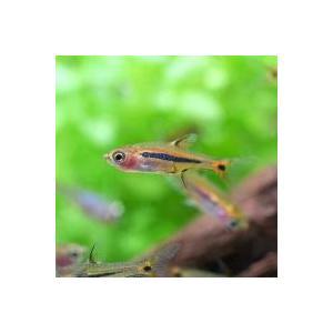 お送りする個体は体長約1〜2cm程度です。個体サイズや模様、雌雄の指定についてはお受け致しかねますの...