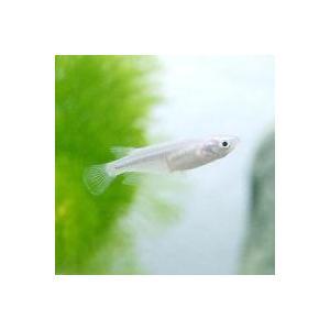 お送りするメダカの個体は体長2〜5cm程度です。メダカの個体サイズや模様、雌雄の指定についてはお受け...