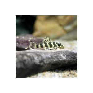 プレコ / (熱帯魚)クィーンインペリアルタイガー・プレコ Sサイズ(ブリード)(1匹) 北海道・九...