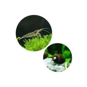 セット内容ヤマトヌマエビ(3匹) 糸状コケ、ヒゲゴケなどを良くついばんでくれます。サザエ石巻貝(3匹...