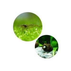 60cm水槽に最適なコケ取り生体セットです。ミナミヌマエビは1匹あたりの能力としてはヤマトヌマエビに...