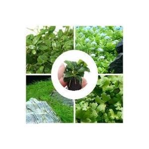 人気の前景草(水上葉)が4種+マルチリングブラック アヌビアスナナ プチが入ったです。セット内容・グ...