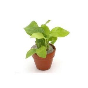 アヌビアスの中で一番明るい色合いですアヌビアス ナナ ゴールデン プチ素焼き鉢(直径約3cm)(5個...