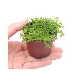 前景草 / (水草)ニューラージパールグラス(水上葉) 鉢植え(無農薬)(1鉢) 北海道航空便要保温