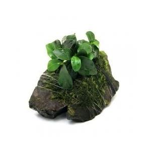 アヌビアス ナナ プチを育成済ウィローモス風山石に巻きつけた商品です。CO2添加していない水槽などに...