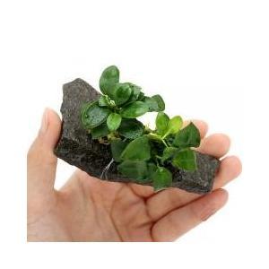輝板石にアヌビアス ナナプチを巻きつけた商品になります。(水草)アヌビアス ナナ プチ 輝板石 Sサ...