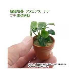 組織培養なので無農薬安心して使えますアヌビアス ナナ プチ素焼き鉢(1個):販売名:アヌビアス ナナ...
