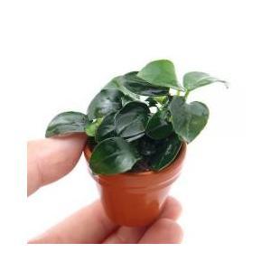 アヌビアスの中で一番小型ですアヌビアス ナナ プチ ミニ素焼き鉢(3個):販売名:アヌビアス ナナ ...