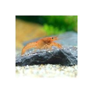 お送りする個体は全長約2〜5cm程になります。サイズは、ハサミを除く胴体から尾にかけての寸法となりま...