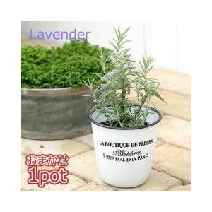 ハーブの女王美しい花と香りをご堪能下さいラベンダーはヨーロッパで古くから利用されてきたハーブで、青紫...
