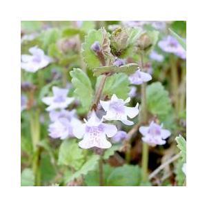 里山の春を彩る紫の花カキドオシは里山の草原や畦に見られるシソ科の植物です。海外では古くからハーブとし...