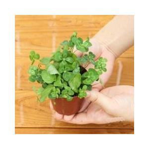 人気のムチカとウォーターミントの可愛い寄せ植えムチカとウォーターミントの寄せ植え:発送サイズ:2.5...