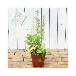 水辺植物の寄せ植えです。インスタント・ビオトープ(寄せ植え):発送サイズ:硬質プラポット5号(15c...