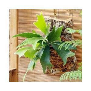 観葉植物を着生させたオシャレなグリーンオブジェジャングルの一部を切り取ったかのような自然な風合いが魅...