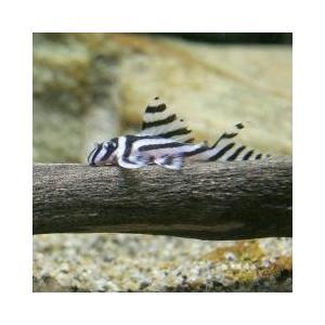 プレコ / (熱帯魚)インペリアルゼブラプレコ Sサイズ(ブリード)(1匹) 沖縄別途送料 北海道・...