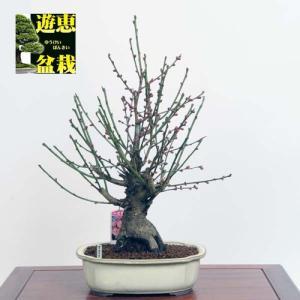 中品盆栽:紅梅(八重寒紅)【現品】*Ume【送料無料】|y-bonsai
