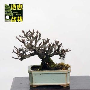 ミニ盆栽:長寿梅(チョウジュバイ)【現品】*Cyoujyubai【送料無料】|y-bonsai
