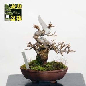 ミニ盆栽:楓(かえで・カエデ)【現品】*Kaede 【送料無料】|y-bonsai