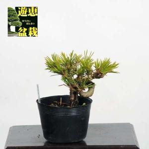 小品盆栽素材苗:三河黒松【現品】*【送料無料】|y-bonsai