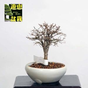 小品盆栽:欅(ケヤキ・けやき)【現品】*Keyaki【送料無料】|y-bonsai