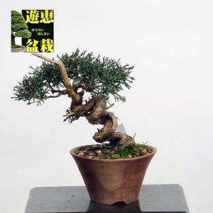 小品盆栽:真柏【現品】*Shinpaku【送料無料】|y-bonsai
