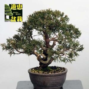小品盆栽:糸魚川真柏【現品】*Shinpaku【送料無料】|y-bonsai