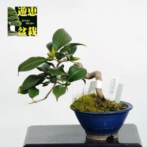 小品盆栽:椿(佐渡雪椿)【現品】*Tsubaki【送料無料】|y-bonsai