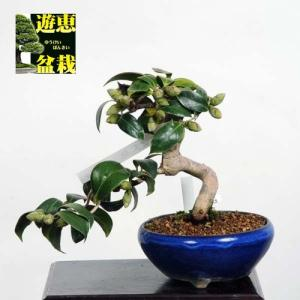 小品盆栽:椿(出雲大社)【現品】*Tsubaki【送料無料】|y-bonsai