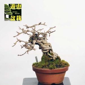 小品盆栽:連翹 (レンギョウ) Rengyou【現品】*【送料無料】|y-bonsai