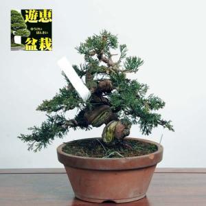 中品盆栽:糸魚川真柏【現品】*Shinpaku【送料無料】|y-bonsai