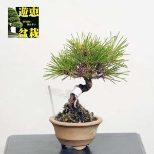 ミニ盆栽:三河黒松【現品】*Kuromatsu【送料無料】|y-bonsai