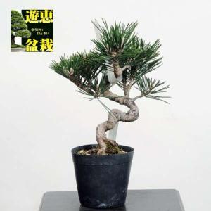 小品盆栽素材苗:寿松【現品】*【送料無料】|y-bonsai