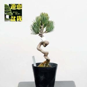 小品盆栽素材苗:宮島五葉松【現品】*【送料無料】|y-bonsai