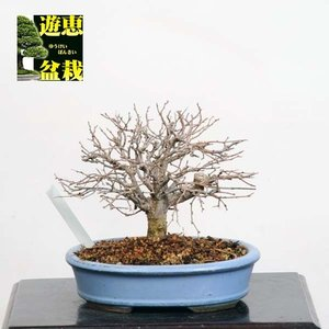 小品盆栽:欅(ケヤキ・けやき)【現品】*【送料無料】|y-bonsai