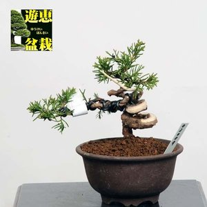 小品盆栽:糸魚川真柏【現品】*【送料無料】|y-bonsai