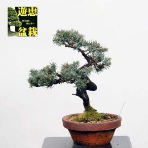 小品盆栽:杜松【現品】*(としょう)【送料無料】|y-bonsai
