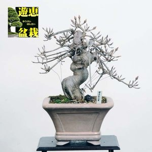 小品盆栽:山法師【現品】*やまぼうし【送料無料】|y-bonsai