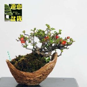 小品盆栽:長寿梅(チョウジュバイ)【現品】*【送料無料】|y-bonsai
