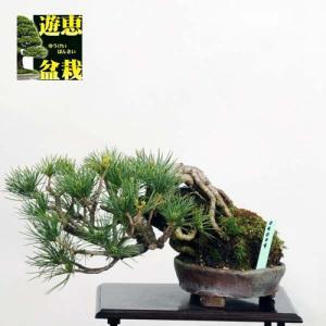 小品盆栽:五葉松石付【現品】*Goyoumatsu【送料無料】|y-bonsai