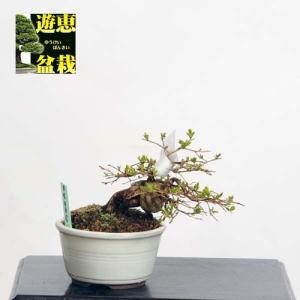 ミニ盆栽:百日紅(さるすべり)【現品】*Cyoujyubai【送料無料】|y-bonsai