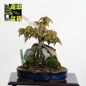 小品盆栽:楓石付(かえで・カエデ)【現品】*【送料無料】|y-bonsai