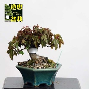 小品盆栽:楓(かえで・カエデ)【現品】*【送料無料】|y-bonsai