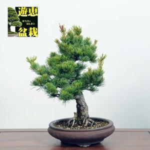 小品盆栽:五葉松【現品】*☆特典付き☆ Goyoumatsu【送料無料】|y-bonsai