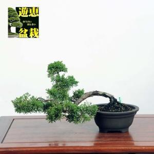 小品盆栽:真柏【現品】*☆特典付き☆ 【送料無料】|y-bonsai